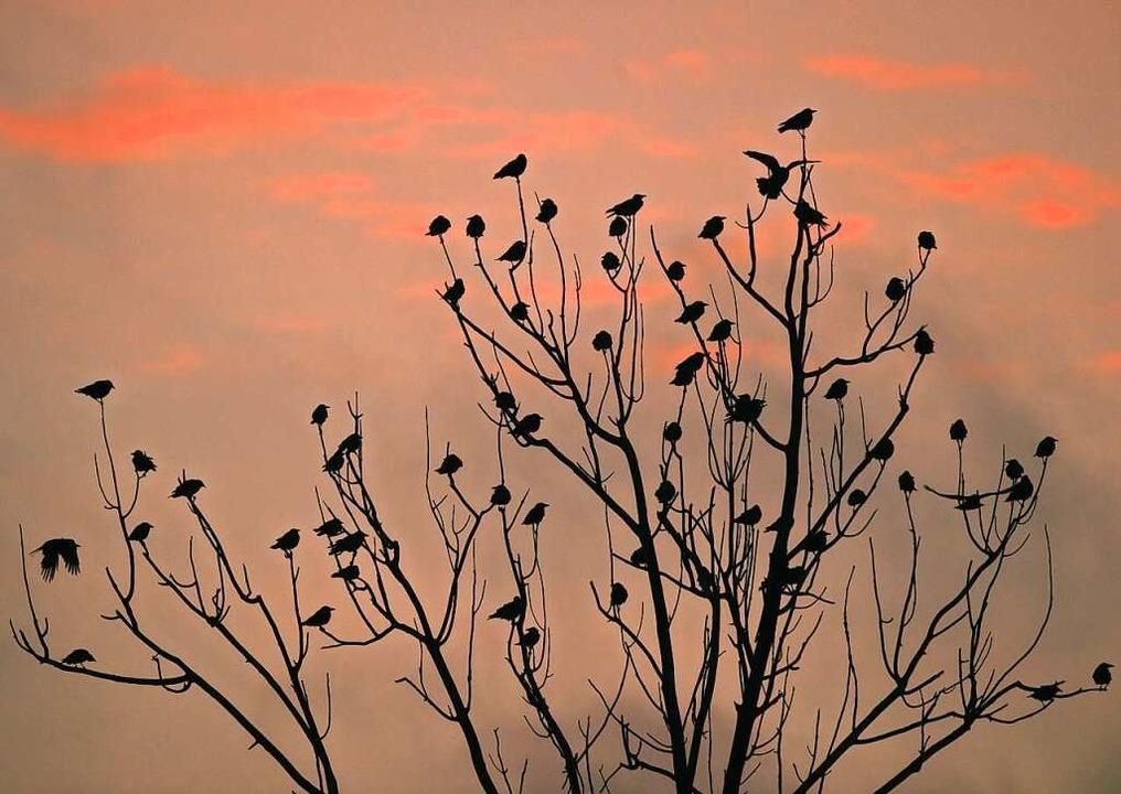 Welche Bäume sich Krähen aussuchen, um... meist nicht vorhersagbar(Symbolfoto).  | Foto: Patrick Pleul