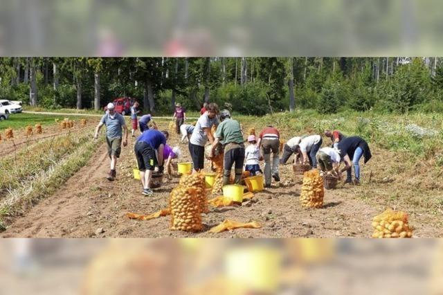 Kartoffelernte in der Gemeinschaft