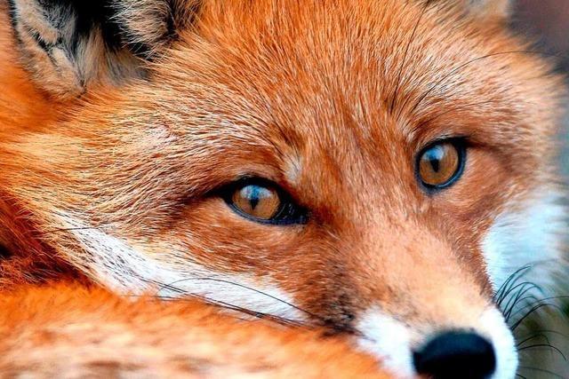 Peta zeigt Betreiber von Anlage zur Fuchsjagd in Neuried an