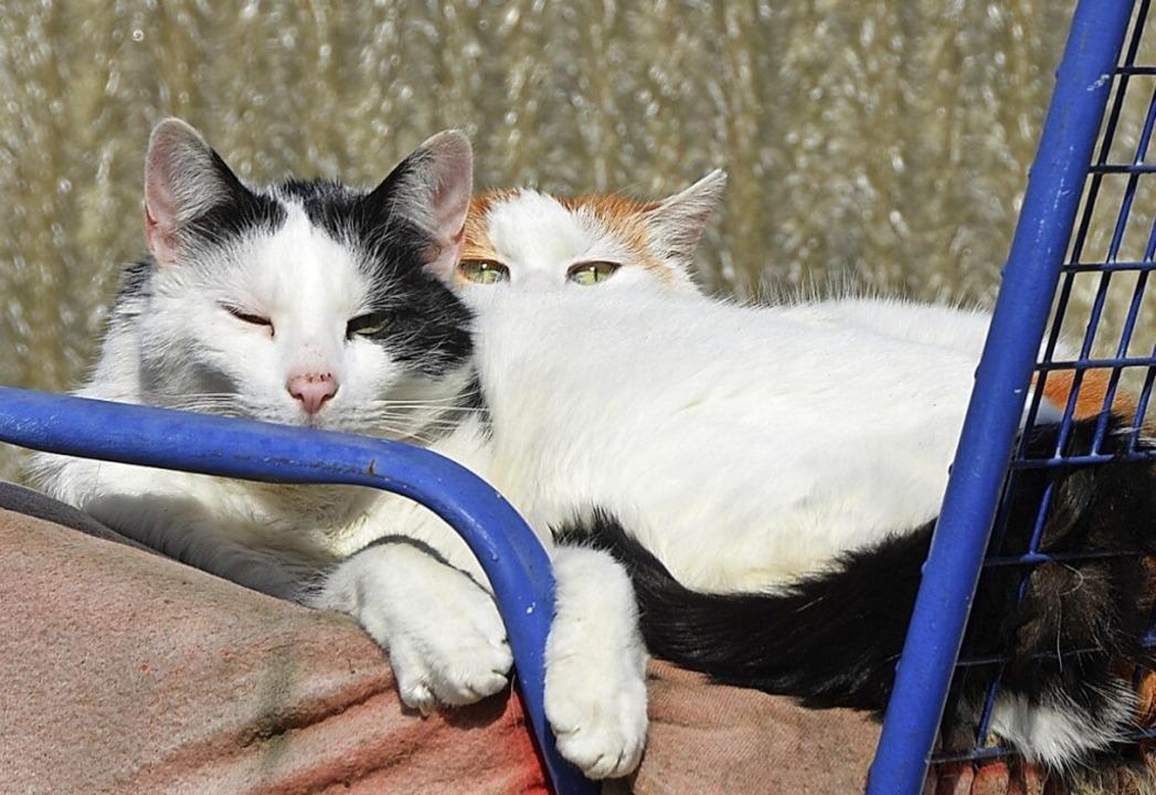 Auch in Vogtsburg müssen Katzenhalter ... kastrieren und registrieren lassen.      Foto: Rita Reiser