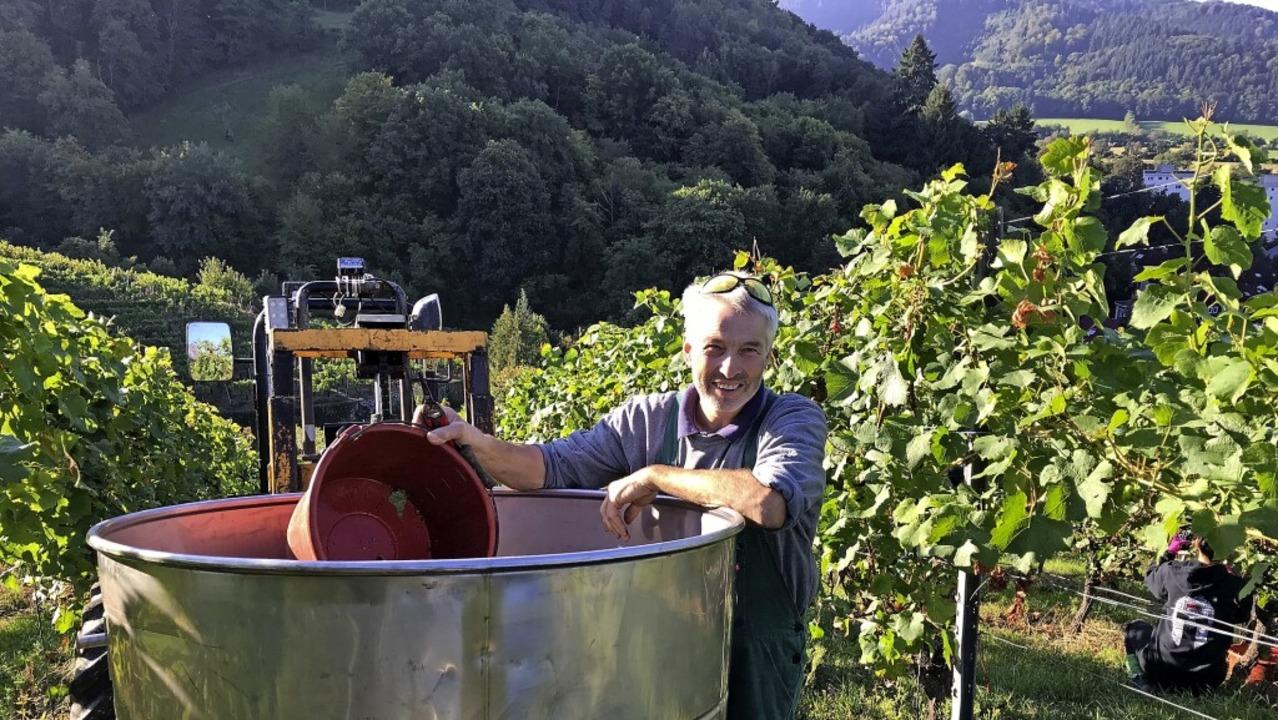 Die gute Qualität der Trauben tröstet ...iesler über die fehlende Menge hinweg.  | Foto: Gabriele Hennicke