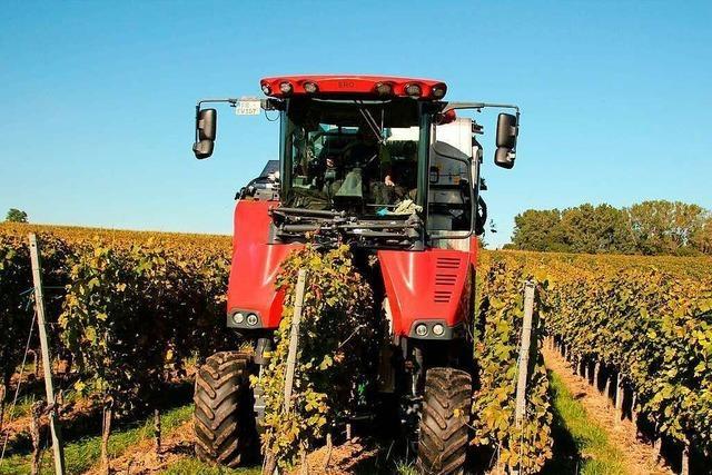 Winzer erwarten geringere Ernte wegen Frostschäden, Pilzbefall und der Kirschessigfliege
