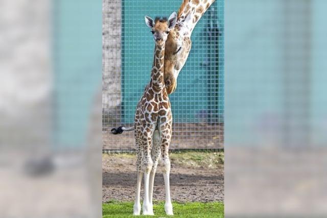 Giraffchen schnuppert Frischluft