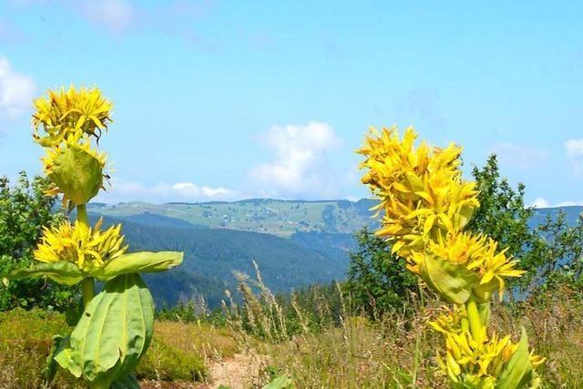 Blütenpracht auf dem Feldberg