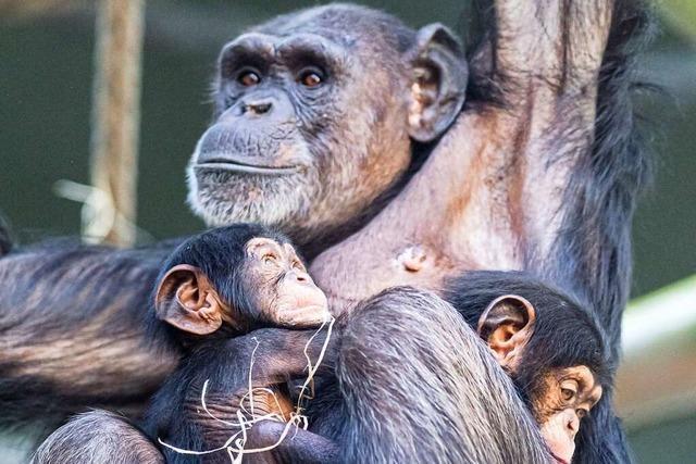 Tante adoptiert Schimpansenbaby im Basler Zoo